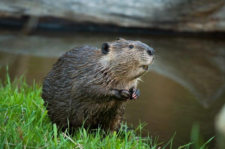 hábitat de los castores
