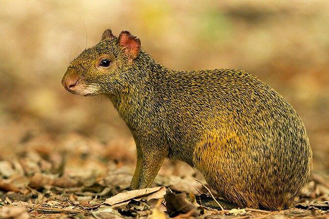 roedor agúti