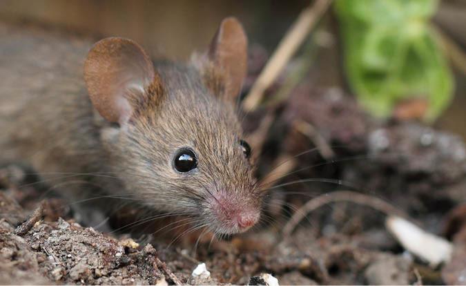características de los roedores