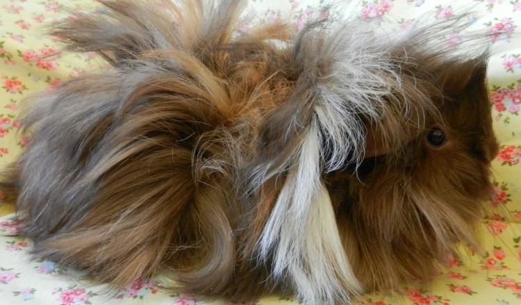 conejillo de indias de sheba