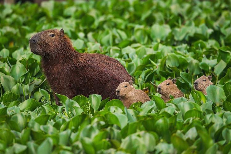 Capibara y sus crías en la naturaleza