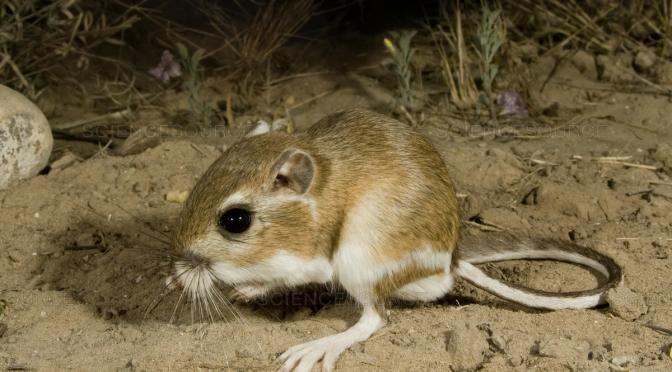 características del ratón canguro