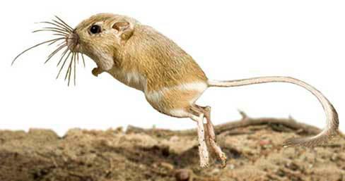 apariencia y características de la ratas canguro