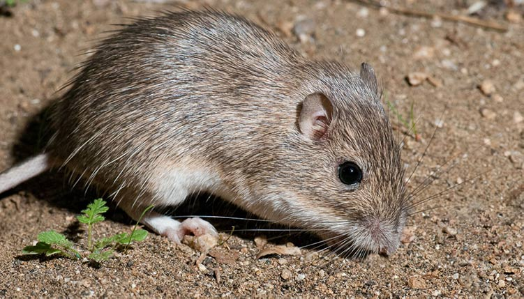 Apariencia y características del ratón de california
