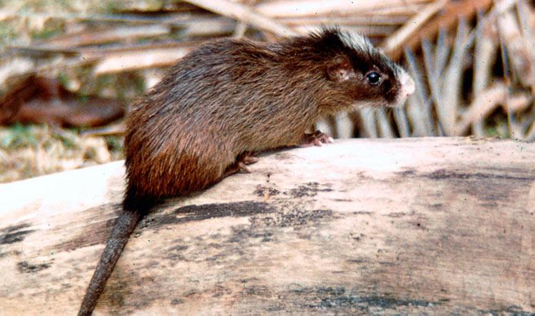 Apariencia de la rata espinosa