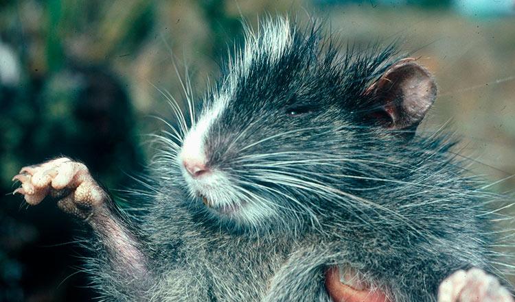 habita y características de la rata chinchilla del Perú